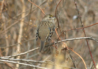 Golden_crowned_sparrow_01