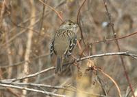 Golden_crowned_sparrow_01