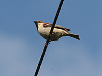 Russet_sparrow_male_04