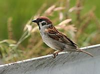 Tree_sparrow_2